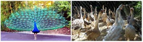 Sepasang Burung Merak India dan Angsa Belanda