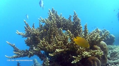 terumbu karang pulau tidung